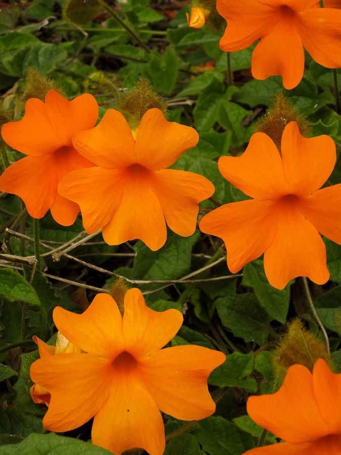 """""""California Poppies"""" Photograph by Sharon French. Orange Flowers pop against young buds and tangled foliage. Perfect to brighten up any dark spot."""