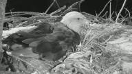 Decorah Eagles - Live feed of Eagles nesting in Iowa❤️