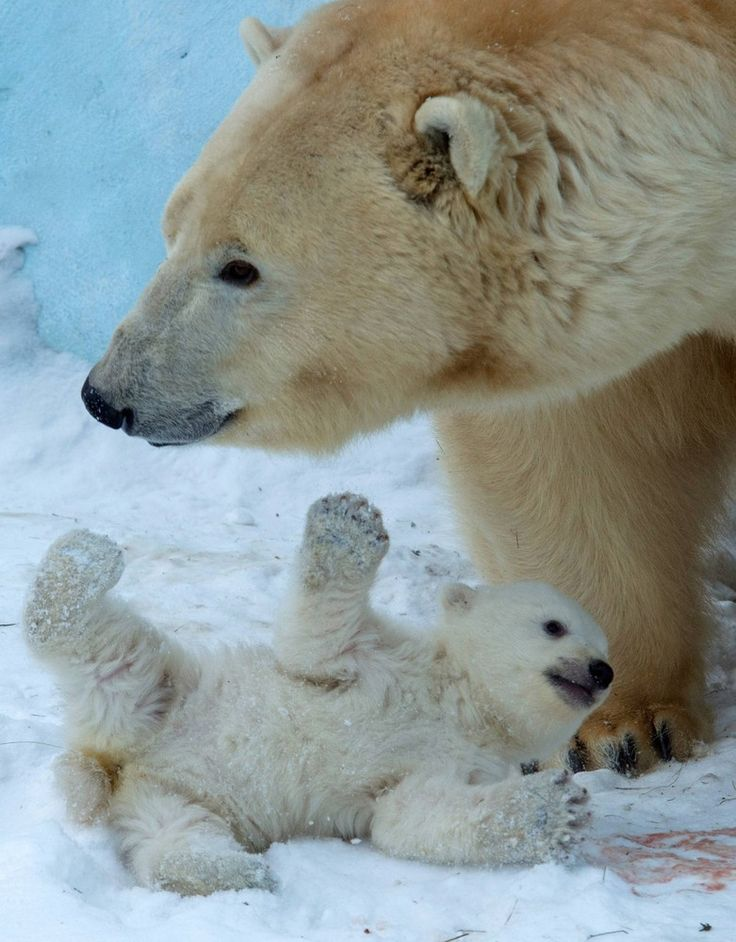 Polar bear Gerda plays with her cub in the Zoo in Novosibirsk, Russia, Friday, March 7, 2014. The first cub of Polar bear couple Kai and Gerda was born at Novosibirsk Zoo in early December. (Photo by Ilnar Salakhiev/AP Photo)