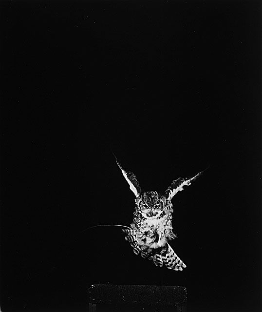 Owl — Dr. Harold Edgerton, c.1979.   Love this composition - the owl is not in the traditional area of the page.