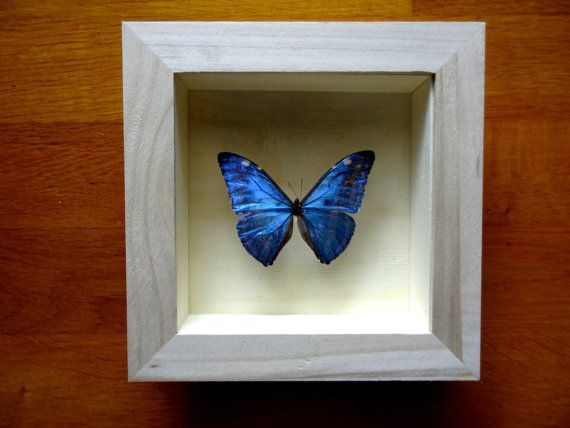 Morpho Adonis Male From PERU Framed Taxidermy by ButterflyPalace