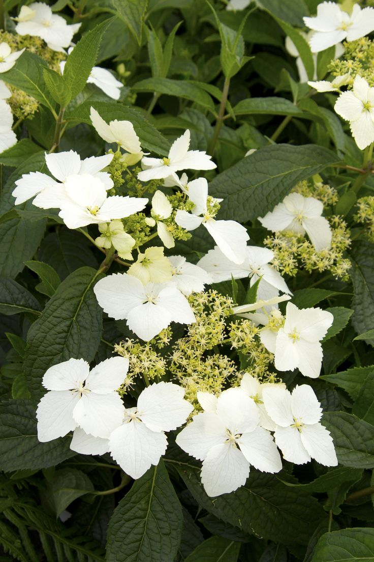 Golden Crane® Hydrangea - Monrovia - This precocious Hydrangea, with large lacecaps of white and chartreuse not only blooms in late spring - the earliest of all Hydrangeas to bloom - but is highly scented, a trait very rare in Hydrangeas. The jasmine-like scent will perfume an entire garden! A superb selection by Dan Hinkley from seed collected in Sichuan Province, China.