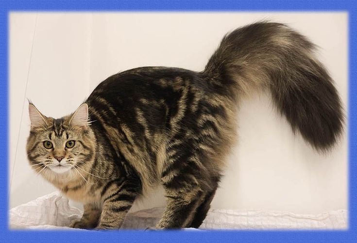 Maine Coon, black tabby blotched (n 22). Chamberlain Natural Beauty