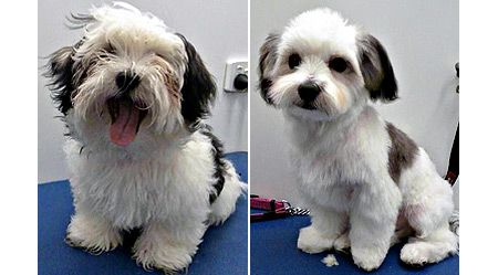 Boris Before Amp After B4 Amp After Pinterest Dogs