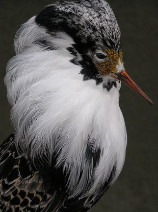The Ruff is a medium-sized wading bird that breeds in marshes and wet meadows…