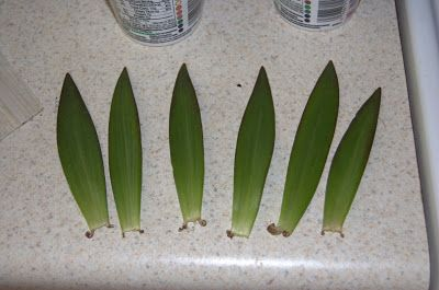 I tried an experiment recently with some Asiatic lily leaves. I read in one of my favorite plant propagation manual that forming new plants from the leaves of lilies was possible. As always I'm open… Continue reading
