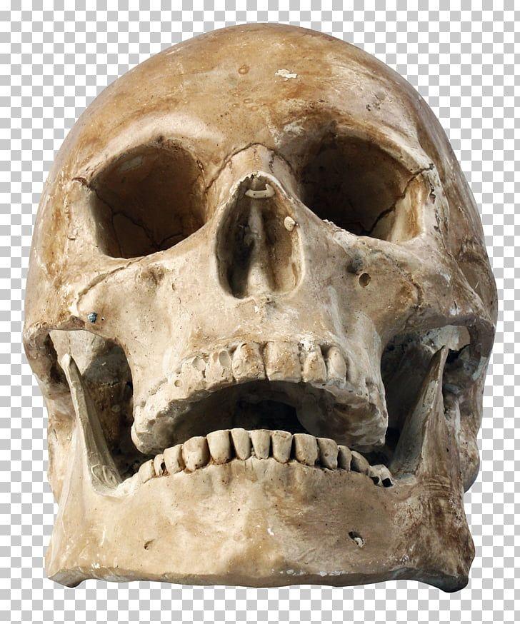 Skull Human Skeleton Skull Aged Skull Png Clipart Free Cliparts Uihere Skull Human Skeleton Free Clip Art