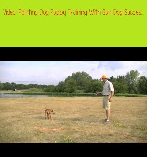 Pointing Dog Puppy Training With Gun Dog Succes Part 2d T Systems