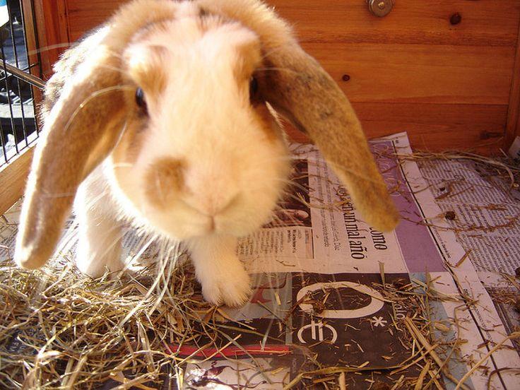 El conejo belier es una preciosa muy mascota muy delicada y sensible que necesita cuidados muy especiales. Aquí os dejamos las pautas básicas para sus cuidados.