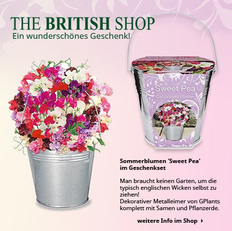 Sie dürfen in keinem englischen Garten fehlen: original englische Duftwicken aus viktorianischer Zeit!
