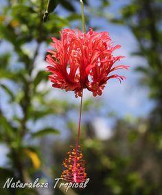 Flor del arbusto trepador Hibiscus schizopetalus