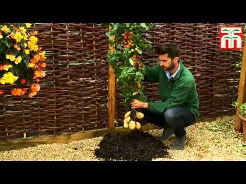 TomTato - Potato and Tomato By One Plant!