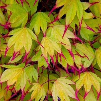 Acer palmatum Tsuma-gaki