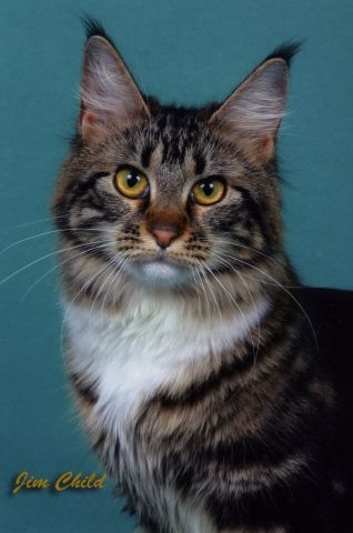 Koty maine coon forum