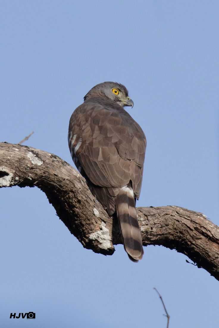 Crested Goshawk  © Harshith JV  Common names: Crested Goshawk Scientific name: Accipiter trivirgatus Place: Timber Depot, Dandeli, Karnataka Date: January 28, 2017  #bird #birding #raptor #Goshawk #CrestedGoshawk #Accipiter #trivirgatus #Accipitriformes #Accipitridae #canon #80d #tamron #bigron #g2