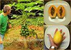 "SEEDS - Exotic Dwarf Papaya tree ""Solo Sunrise"" Mature height of only 6-8 feet! Seeds #maturefeet #solotree #treeseeds"