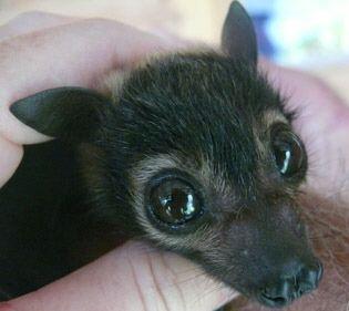 Flying Fox Bat - So Adorable!