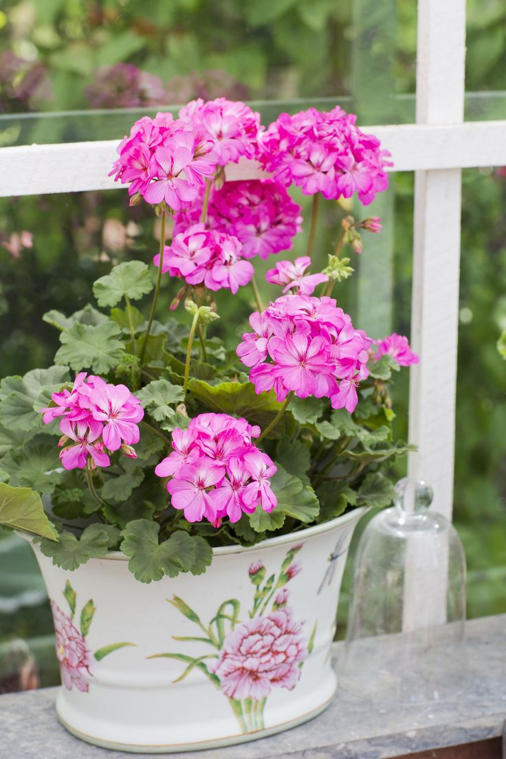 "syflove: ""pink geranium """