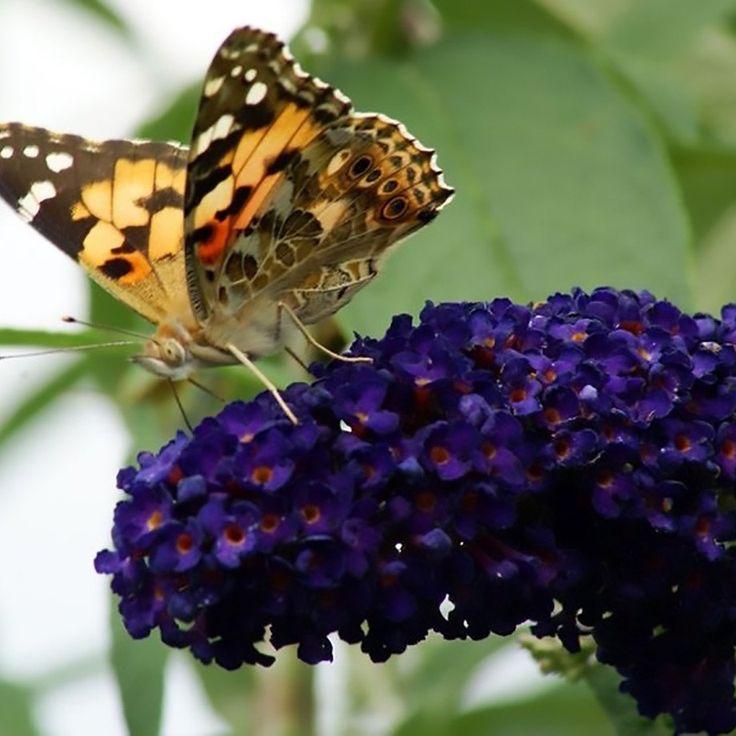 Butterfly Bush Black Knight