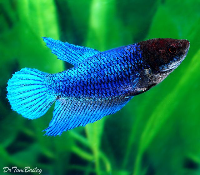 15 List Different Types Of Betta Fish With Pictures