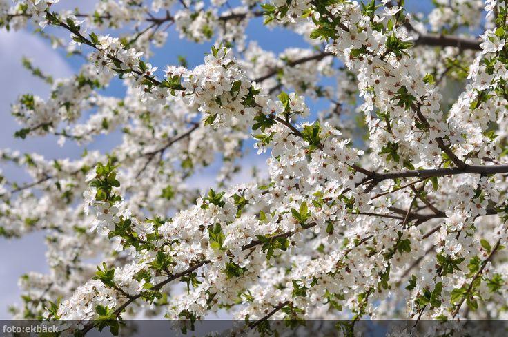 Plommonträd - Sök på Google