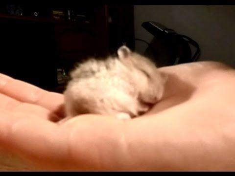 Snoring baby hamster...