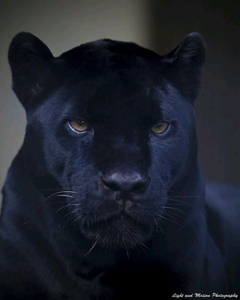 Black King Photo by ©Light and Malton Photography #WildlifeFriend  – Cats