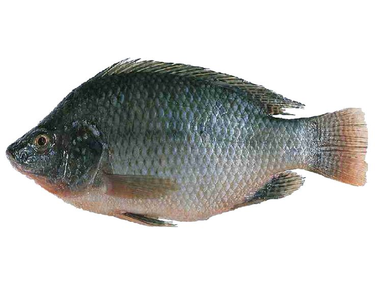 25 best ideas about tilapia fish farming on pinterest for Is tilapia a man made fish