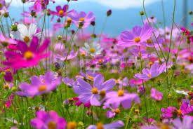 Resultado de imagen de imagenes de flores cosmos