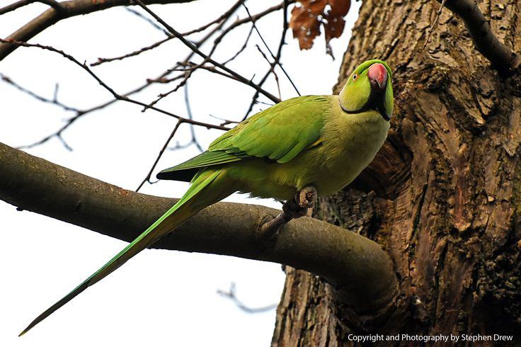 Ring Necked Parakeet - London Park. Photography and Copyright - Stephen Drew