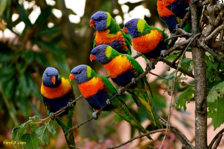 RAINBOW LORIKEETS MORUYA NSW AUSTRALIA BY PETER STYRING. Australian Parrots And Birds Please Visit My New Parrot Page
