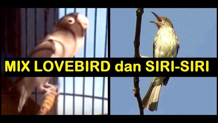 Burung Masteran Murai Batu,Kenari,Kolibri,Kacer,Cucak Ijo,Cendet,Ciblek:Mix Lovebird dan Siri-Siri.mp3 suara lovebird ngekek panjang.mp3 suara lovebird gacor.mp3 suara siri-siri gacor.mp3 bird song.