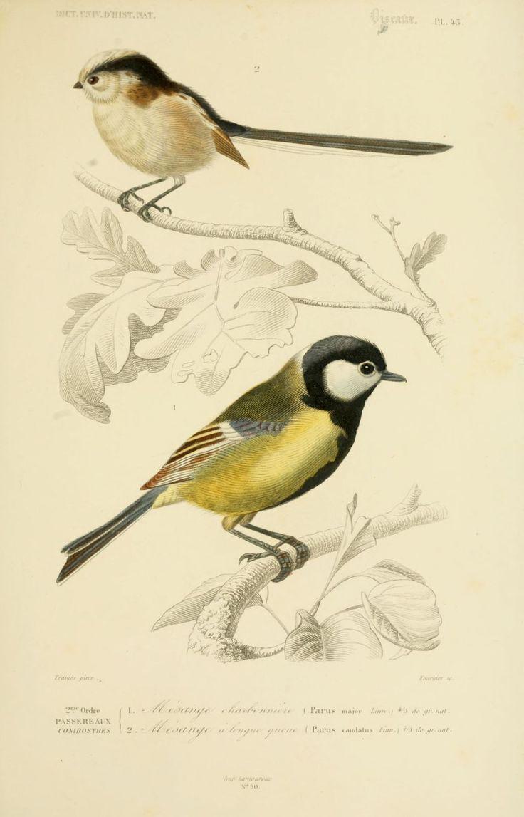 gravures couleur d'oiseaux - Gravure oiseau 0209 mesange charbonniere - parus major - passereau - Gravures, illustrations, dessins, images