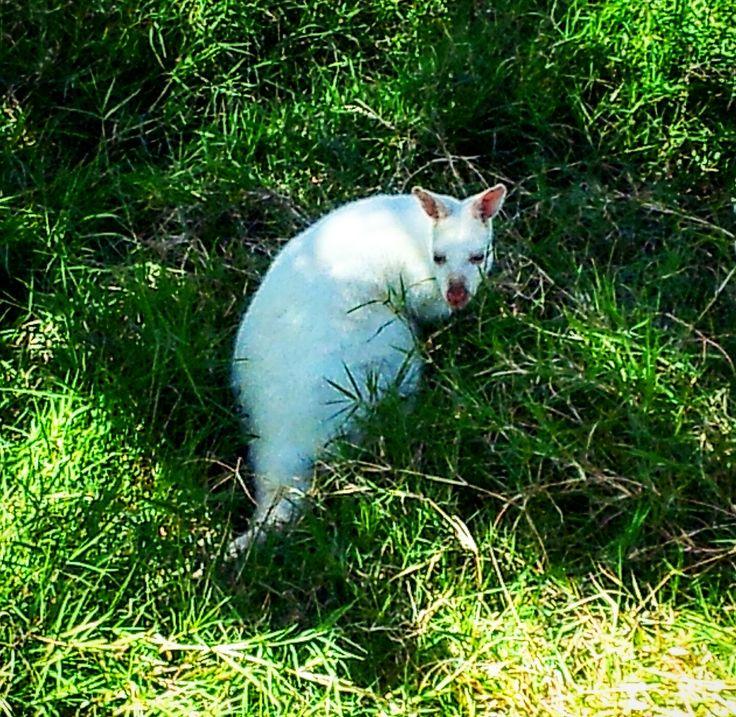 White kangaroo in a wildlife park in Mauritius