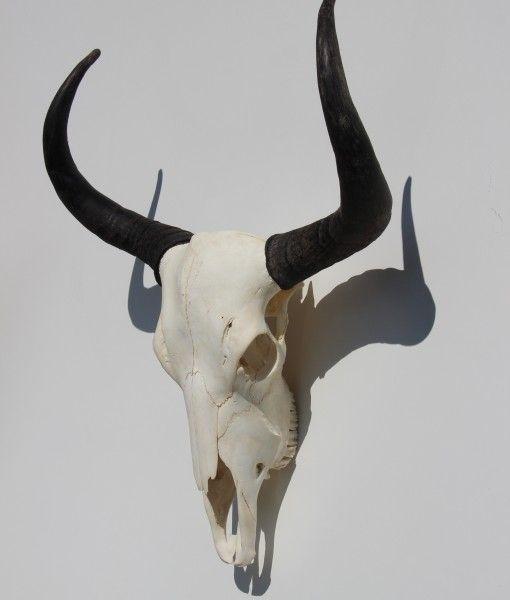 Yak – Jak schedel 7 XL Tibet  Himalaya