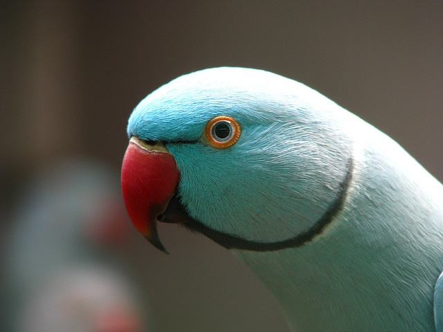 So so beautiful...such colors~~Blue Male Indian Ring Neck Parakeet