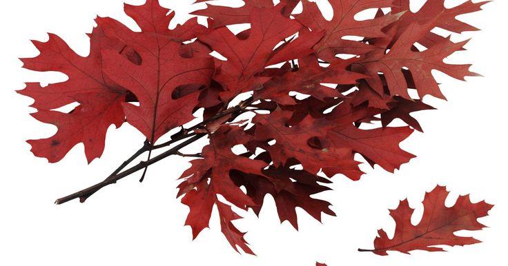 """¿Los árboles de roble mantienen sus hojas todo el año?. La mayoría de los árboles de roble (Quercus) que se encuentran en América del Norte por lo general pierden sus hojas cuando se acerca el invierno. Sin embargo, algunos robles son de """"hoja caduca tardía"""", lo que significa que pierden sus hojas muy tarde en comparación con otros árboles. Algunas especies son de hoja perenne, es decir que sus nuevas ..."""