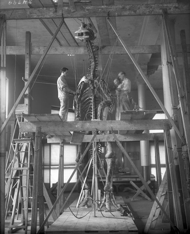 Installing the Trachodon display at the American Museum of Natural History, 1916.