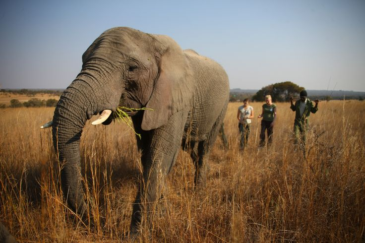An elephant walk in the captivating bushes of Antelope Park