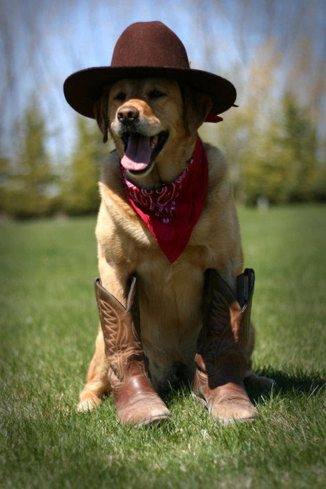 .Parties Animal, Texas Rangers, Halloween Costumes, Dogs Fashion, Yellow Labs, Smile Dogs, Cowboy Dogs, Cowboy Up, Golden Retriever