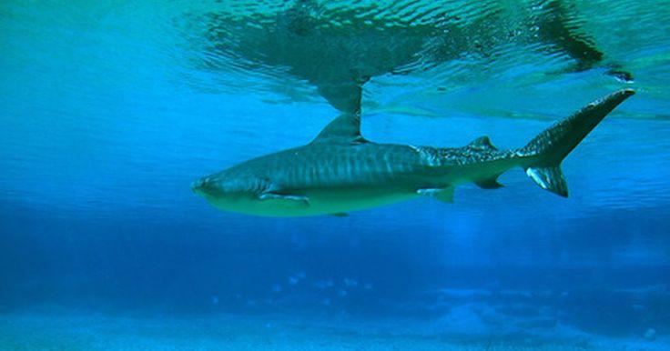 ¿Cómo saber si una cría de tiburón es macho o hembra?. Identificar el género de una cría de tiburón requiere un delicado examen de la misma. Sorprendentemente, muchas crías de tiburón, o tiburones bebés, son lo bastante pequeños que pueden sujetarse en dos manos cuando nacen. De acuerdo con el Museo de Historia Natural de Florida, los tiburones se reproducen en diferentes formas. Algunos tiburones dan ...