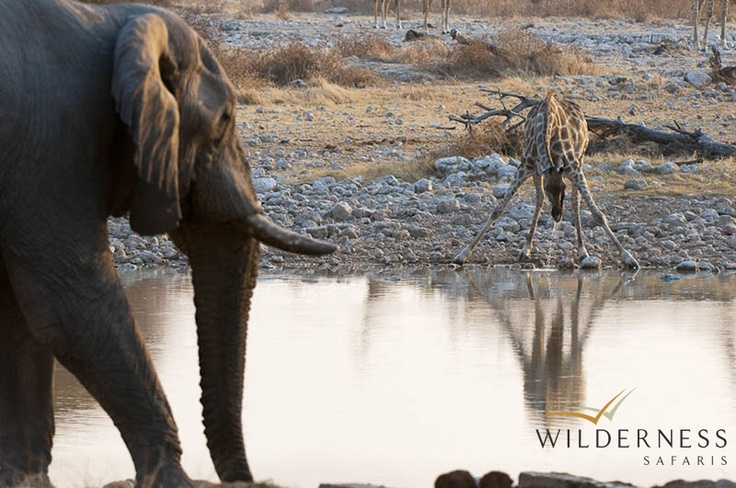 Ongava Tented Camp - Etosha National Park is Namibia's premier wildlife destination and one of Africa's largest game reserves. Large herds of wildlife teem around the waterholes and the endless plains offer breathtaking vistas. The Ongava Game Reserve shares a boundary with the Etosha National Park. #Safari #Africa #Namibia #WildernessSafaris