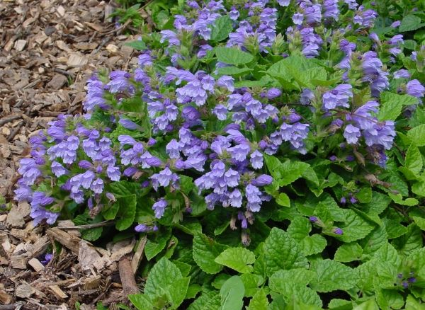 22 best pennsylvania perennials images on pinterest