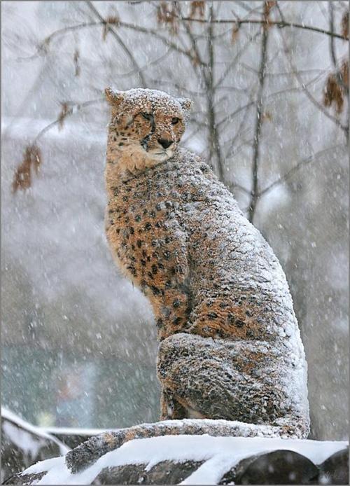 Cheetah in the snow ..., isn't he beautiful?