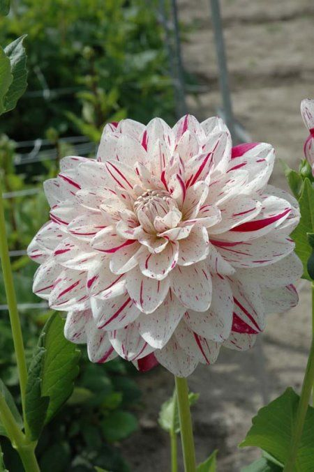 Dahlia 'Bright Diamond': waterlily.