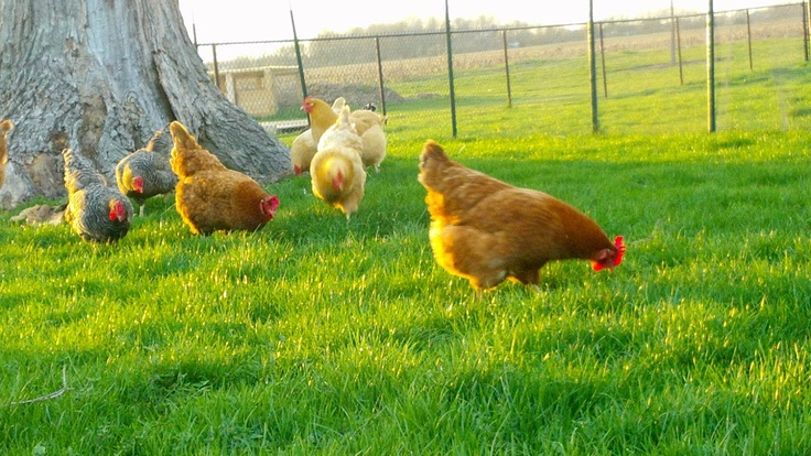 Palatine patch chickens as pets