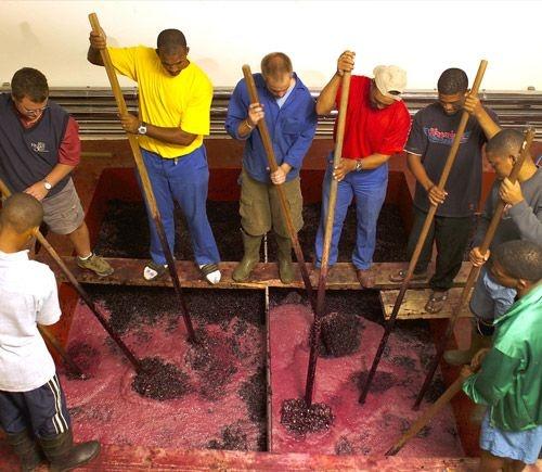 Punch down on Kanonkop Wine Estate