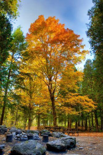 A large maple at Hilton Falls near Milton, Ontario, Canada