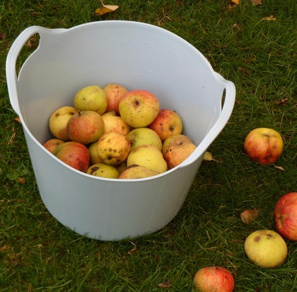 Collecting home grown Apples in a 15 Litre Duck Egg Blue Rainbow Trug www.rainbowtrugs.com