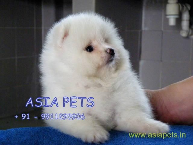 Pomeranian Puppies Price In Hyderabad Pomeranian Puppies For Sale In Hyderabad Pomeranian Puppy For Sale Pomeranian Puppy Puppies For Sale